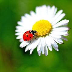 Bête à Bon Dieu Beautiful Creatures, Animals Beautiful, Cute Animals, Beautiful Bugs, Beautiful Flowers, Photo Coccinelle, Photo Macro, Ladybug Art, Bugs And Insects