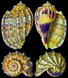 Incredibly colourful & stunning seashells - Harpa kajiyamai Habe, 1970  -  C.Chen