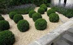 A fine selection from the Southern Living Plant Collection Baby Gem Boxwood is a cute little gem of a boxwood perfect for use in smaller garden spaces.
