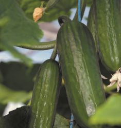 Fertilizer and Care Guide for Growing Cucumbers  Today we take a look at Cucumbers. Want to know what type of fertilizer to use on cucumber plants? Watering instructions? Row spacing? Do you need to know how soon you should plant? Then read on http://www.fertilizerforless.com/2016/12/04/type-fertilizer-use-cucumber-plants/