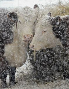 Cows In Snow Storm