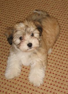 Star! One of our favorite Havanese puppies, at 12 weeks of age.
