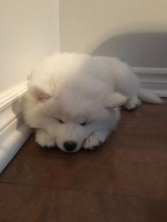 Samoyed sleeping