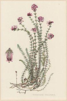 1960 Botanical Print Erica tetralix Cross-leaved by Craftissimo