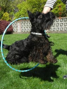 OUR PUPPY PICTURES — SCOTTISH TERRIERS, Scottish Terrier Pups, Idahoscotties.com
