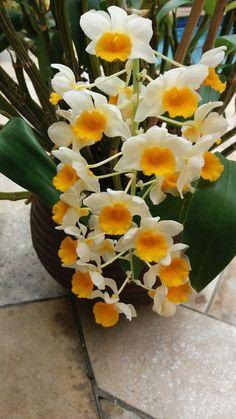 Dendrobium Orchids, Pictures, Garden Projects, Dios, Plants, Flowers, Orchids, Photos, Grimm