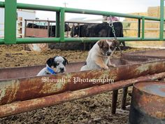 Real Cow Dogs