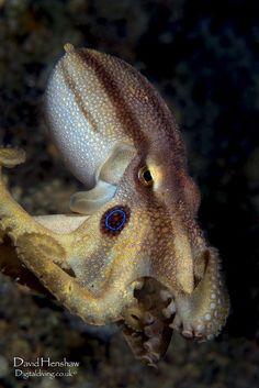 Topus (Octopus mototi)