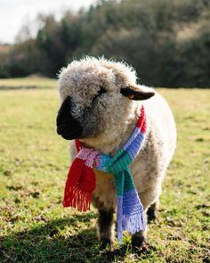 "@tinnockfarmtipperary: ""It's everyone's favourite sheep, Flo! Modelling here the latest in sheep fashion, the crochet…"" Sheep, Lamb, Crochet, Model, Pictures, Animals, Fashion, Photos, Moda"