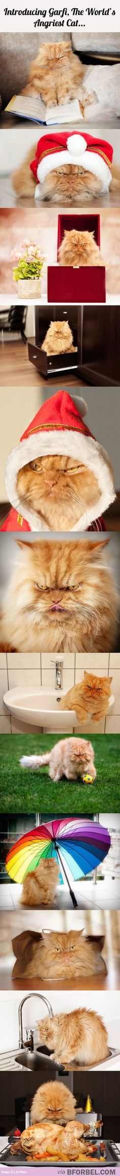 AngryGarfi Garfi The Angriest Cat In The World Pinterest - Garfi is officially the worlds angriest cat