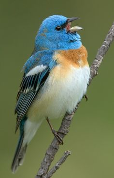 - The lazuli bunting is a North American songbird named for the gemstone lapis lazuli. The male is easily recognized by its bright blue head and back, its conspicuous white wingbars, and its Small Birds, Little Birds, Colorful Birds, Pretty Birds, Love Birds, Beautiful Birds, Bunting Bird, Blue Bunting, Buntings