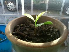 Baobab seedling- I just soaked the cream of tartar seeds in wet cotton wool for about 2-3 months in my kitchen windowsill, and one day one of the seeds sprouted.