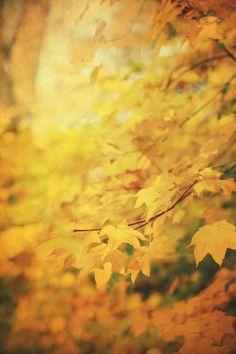 Gorgeous golden hues of autumn Soft Autumn, Autumn Day, Autumn Leaves, Autumn Scenery, Seasons Of The Year, Yellow Leaves, Autumn Inspiration, Happy Fall, Mood