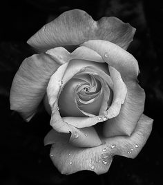 black and white rose Black and white experiment copy Black And White Rose Tattoo, White Rose Tattoos, Black And White Roses, Black And White Aesthetic, Black And White Pictures, Rose Reference, Chicanas Tattoo, Rose Drawing Tattoo, Realistic Rose