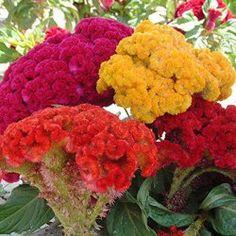 #cockscomb - learn 2 #grow http://www.growplants.org/growing/cockscomb
