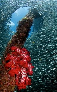 """Raja Ampat Underwater"" - Papua - Indonesia - Visit http://asiaexpatguides.com to make the most of your experience in Indonesia!"