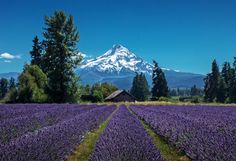 Pick your own lavender at this gorgeous lavender farm located in the foothills of Mt Hood.