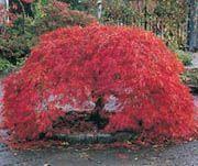 Acer palmatum var. dissectum atropurpureum #gardenshrubsbackyards #cottagegardenshrubs