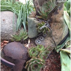 succulents in an old boot - All About Garden Porch Plants, Garden Boots, Old Boots, In Memory Of Dad, Hens And Chicks, Spring Has Sprung, Crafty Craft, Succulents, Planters