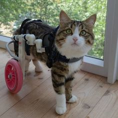 A Cat With Two Wheels Loves His Life to the Full - We Love Cats and Kittens
