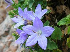 Campanula Isophylla | Campanula isophylla