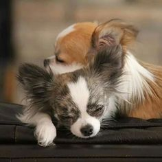 Lifetime friend....Papillon babies. More #chihuahua