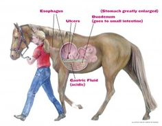 Treating equine ulcers