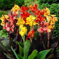 canna plant - Google Search