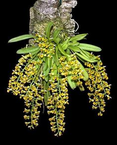 zygostates-lunata originating in the southern and southeastern regions of Brazil where vegetation is fixed to trees and shrubs. Orchids Garden, Orchid Plants, Air Plants, Mini Orquideas, Orquideas Cymbidium, Miniature Orchids, Growing Orchids, Orchidaceae, Wild Orchid