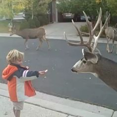 Petit garçon nourrit le cerf That's exactly how you can feed the deer - Monde Des Animaux Funny Animal Videos, Cute Funny Animals, Animal Memes, Cute Baby Animals, Funny Cute, Beautiful Creatures, Animals Beautiful, The Animals, Mundo Animal
