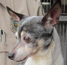 """Adorable sweet senior rat terrier """"TOOEY"""" found in Canton Ohio...Soon adoptable! 50 Tooey is an adoptable Rat Terrier Dog in Canton, OH. Picked up as a stray on 9/18. Available on 9/23. $ 86.00 fee includes license, 5 way shot if able and available. $50.00 goes to the cost of sp..."""