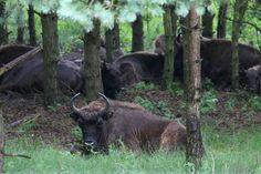 Wisent/ Europese bizons