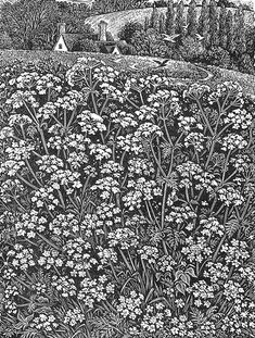 """""""Queen Anne's Lace"""" ~ Wood Engraving by Sue Scullard, English Illustrator ...."""