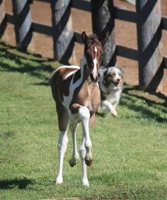American Saddlebred (photo only - no link)