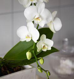 Med et knippe tålmodighet kan du få orkidéen til å blomstre igjen og igjen.
