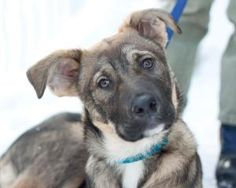 Ace is an adoptable German Shepherd Dog Dog in Ottawa, ON. Ace is a sweet little guy who learns fast! he is well on his way to asking at the door to go out. Ace is about 3.5 months old and is just a c...