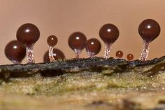 Slime Mold - Alien Landscapes On Earth ~ Kuriositas