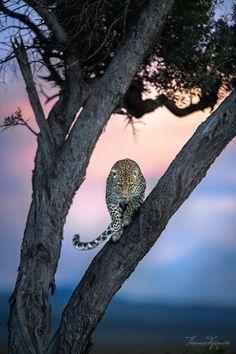 Big Cats, Predator, Jaguar, Lions, Animals And Pets, Safari, Sunrise, To Go, Owl