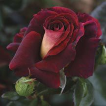 Dark Night Hybrid Tea Rose | Hybrid Tea Roses | Edmunds Roses