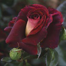 Dark Night Hybrid Tea Rose | Hybrid Tea Roses | Edmunds Roses