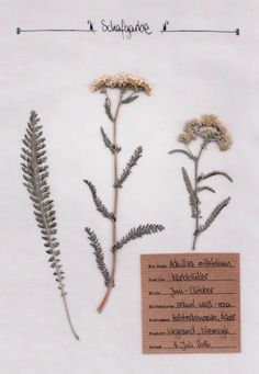 "Source by herbalhunter The yarrow – identifying features, mythology and use in the wild herb kitchen. Learn more about the ""eyebrow of Venus"" in the detailed plant portrait in the digital herbarium. Backyard Vegetable Gardens, Vegetable Garden Design, Diy Tattoo, Tattoo Ideas, Botanical Drawings, Botanical Prints, Botanical Illustration, Art Floral, Weather For Kids"