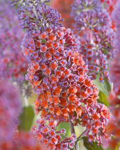 Arbre à papillons 'Flower Power'