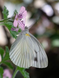 Butterfly Photos, White Butterfly, Beautiful Bugs, Beautiful Butterflies, Flying Flowers, Black And White Pictures, Eminem, Spirit Animal, Moth