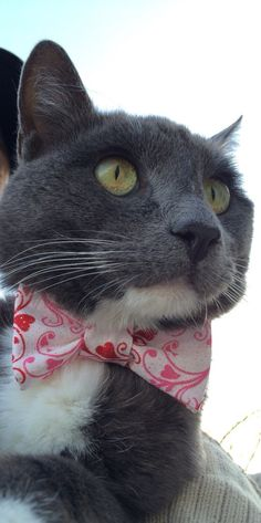 Valentine's Day Bow Tie - Charcoal, the outdoor kitty, wearing a classy Valentine's Day sparkle hearts bow tie by KitandRover - while being supervised of course.