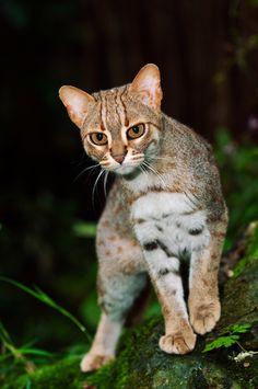 El gato herrumbroso es la especie más pequeña de gato salvaje existente. Se encuentra en Ceilán y la India.