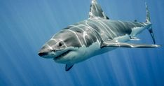 The Great White Shark: King of the Ocean by Ramón Carretero - Photo 124049765 / Largest Great White Shark, The Great White, Spirit Animal Totem, Animal Totems, Hai Tattoos, Shark Activities, Shark Photos, Shark Images, Whales