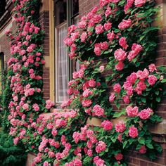 High Traffic (Thornless or almost thornless Roses)_ When planting roses in a high traffic area, one of your top concerns is safety. Try the Zephirine Drouhin Climbing Rose. This rose is a climber, has long, thornless canes packed with repeat blooming br Planting Roses, Flowers Garden, Garden Plants, Bonsai Plants, Fruit Garden, Outdoor Plants, House Plants, Beautiful Roses, Beautiful Gardens