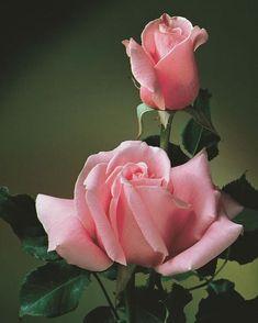 Weeks Roses, Foto Rose, Hybrid Tea Roses, Growing Roses, Pink Cotton Candy, Arte Floral, Flower Petals, Cactus Flower, Flower Photos