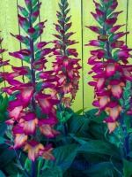 Landcraft Environments Wholesale Tropical Plants for Temperate Climates: Digiplexis