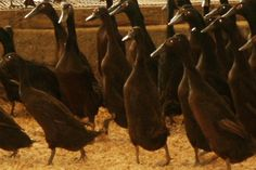 Chocolate runner ducks